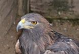 Aquila chrysaetos qtl1.jpg