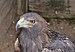 Aquila chrysaetos qtl1.jpg