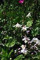Aquilegia fragrans - Flickr - peganum.jpg