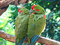 Ara rubrogenys -Animal Kingdom-4.jpg