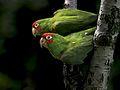 Aratinga erythrogenys -San Francisco, USA -feral parrots-8.jpg