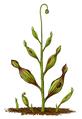 Archaeamphora longicervia.png