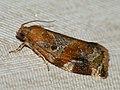 Archips xylosteanus ♂ - Variegated golden tortrix (male) - Листовёртка-толстушка пестрозолотистая (самец) (40585281294).jpg