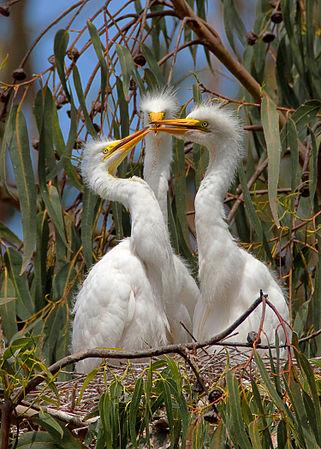 Ardea alba; 3 chicks, Morro Bay Heron Rookery 2 - by Mike Baird.jpg