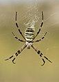 Argyope bruennichii 4 (3911969915).jpg