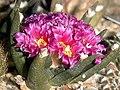 Ariocarpus-agavoides.jpg