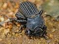 Armoured Darkling Beetle (Anomalipus expansicollis) mating (12716628874).jpg