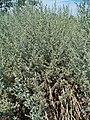 Artemisia absinthium 0001.JPG