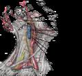 Arteria carótida externa.png