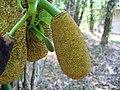 Artocarpus heterophyllus 15.jpg