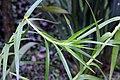 Arundina graminifolia 6zz.jpg
