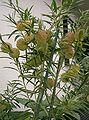Asclepias physocarpa2.jpg