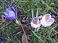 Asparagales - Crocus vernus 10.jpg