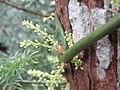 Asparagus racemosus - Satawari flowers - at Peravoor 2018 (4).jpg