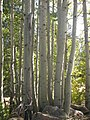 Aspen Trunks - Eldorado National Forest (4009039919).jpg