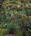 Asphodelus ramosus 2.jpg
