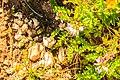 Astragalus alpinus 35.jpg