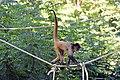 Atèle de Geoffroy (Zoo-Amiens)b.JPG