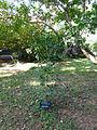 Ateriya-Murraya paniculata-Sri Lanka (1).jpg