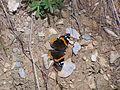 Athina Lykavittos motyl.jpg