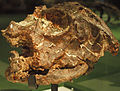 August 1, 2012 - Skull of Hyperodapedon on Display at the Royal Ontario Museum (MC2 4572).jpg