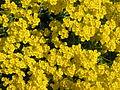 Aurinia saxatilis04.jpg
