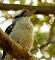 Australian Kookaburra.png