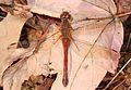 Autumn Meadowhawk - Sympetrum vicinum, Meadowood Farm SRMA, Mason Neck, Virginia - 22769234298.jpg