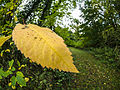Autumn leaf (10493703983).jpg