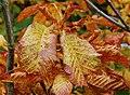 Autumn leaves, Minnowburn near Belfast (1) - geograph.org.uk - 1535357.jpg