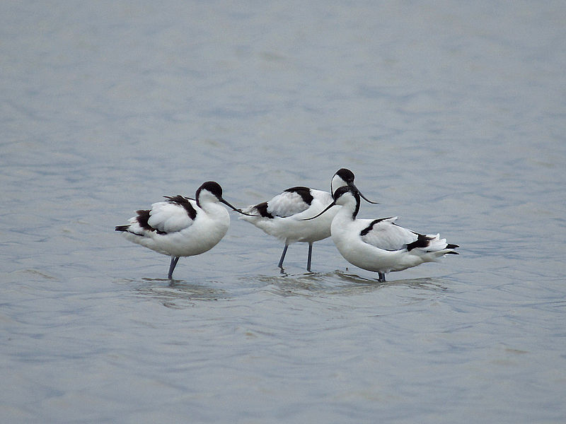 File:Avocet 4416.jpg