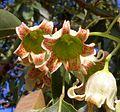 B. populneus flor-3.JPG