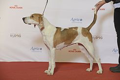 American Foxhound.