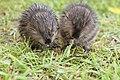Baby muskrat love (14462801735).jpg