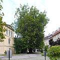 Baden, Platane beim Florastöckel 2.jpg