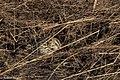 Baird's Sparrow Curly Horse Ranch Rd Sonoita AZ 2018-01-26 09-26-52 (39038374625).jpg