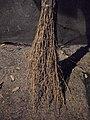 Balais en bambou - DIY - bamboo brooms - Alain Van den Hende - licence CC40 - SAM 3918.jpg