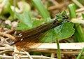 Banded Demoiselle female. Calopteryx splendens close to ssp balcanica (31354668056).jpg