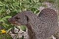 Banded mongoose (Mungos mungo) head.jpg