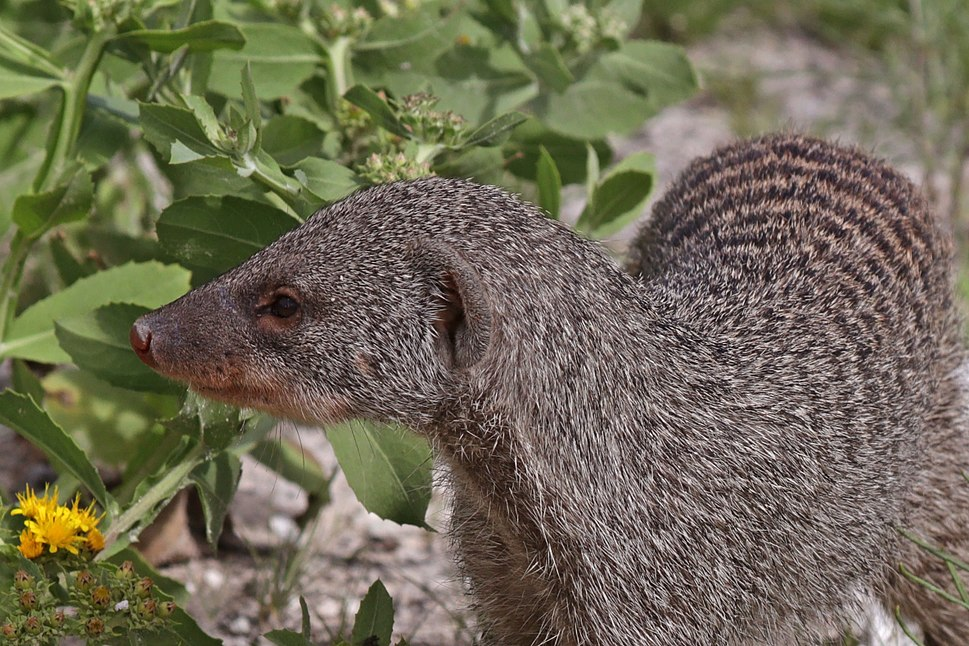 Banded mongoose (Mungos mungo) head