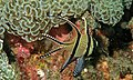 Banggai Cardinalfish (Pterapogon kauderni) (6058931091).jpg