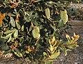 Banksia lemanniana latebud.JPG