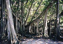 ficus benghalensis   wikipedia the free encyclopedia