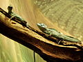 Basiliscus plumifrons-Buffalo Zoo.JPG