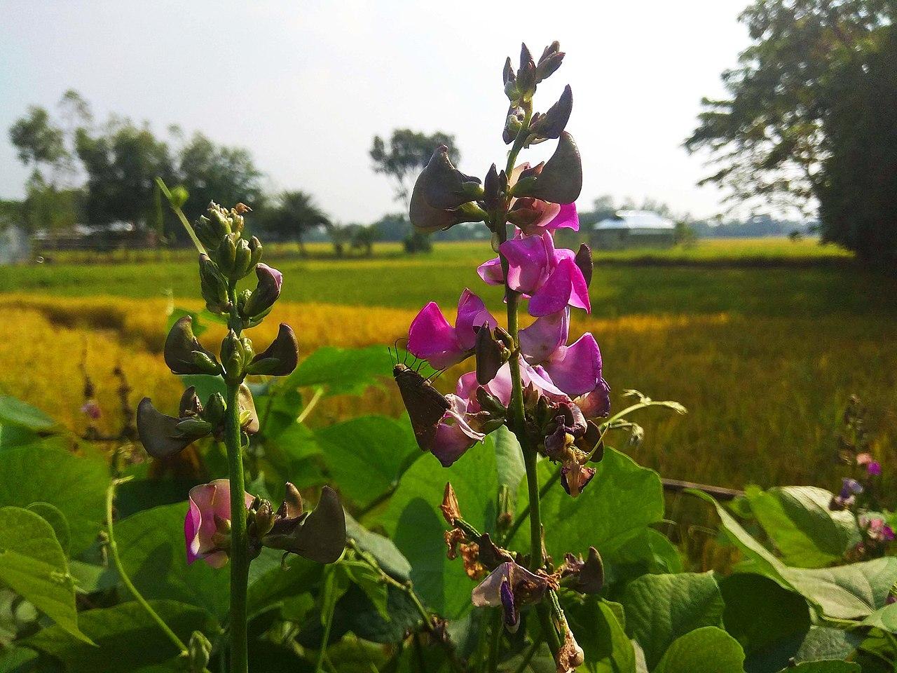 File Bean Flower In Bangladesh Jpg Wikimedia Commons