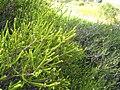 Beaufortia squarrosa leaves closeup.jpg