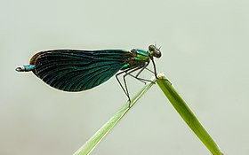 Beautiful Demoiselle Calopteryx virgo.jpg
