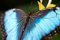 Beautifull butterfly (3959549041).jpg