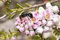 Bee or wasp - Flickr - jeans Photos.jpg