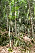 Beech and spruce on a rocky slope in Vessertal.jpg